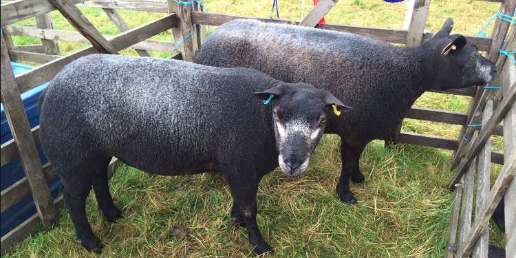 Award Winning Sheep at Ryedale Show